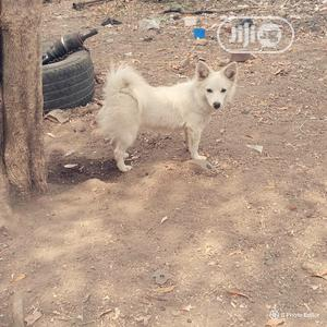 3-6 Month Female Purebred American Eskimo | Dogs & Puppies for sale in Oyo State, Ibadan