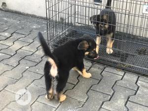 1-3 Month Female Purebred German Shepherd | Dogs & Puppies for sale in Lagos State, Ifako-Ijaiye