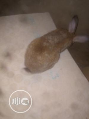 British Giant Rabbit | Livestock & Poultry for sale in Oyo State, Ona-Ara