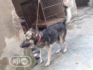 GSP for Stud Service   Pet Services for sale in Lagos State, Alimosho