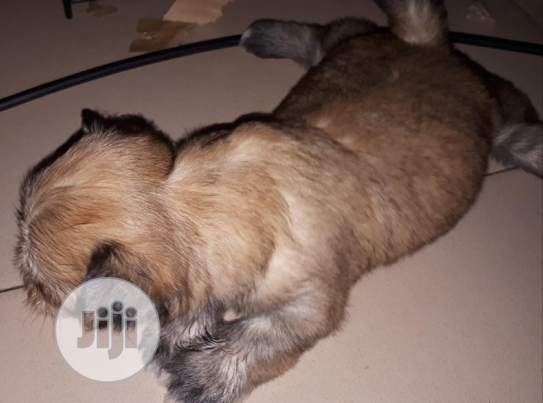 Archive: 1-3 Month Female Purebred Lhasa Apso
