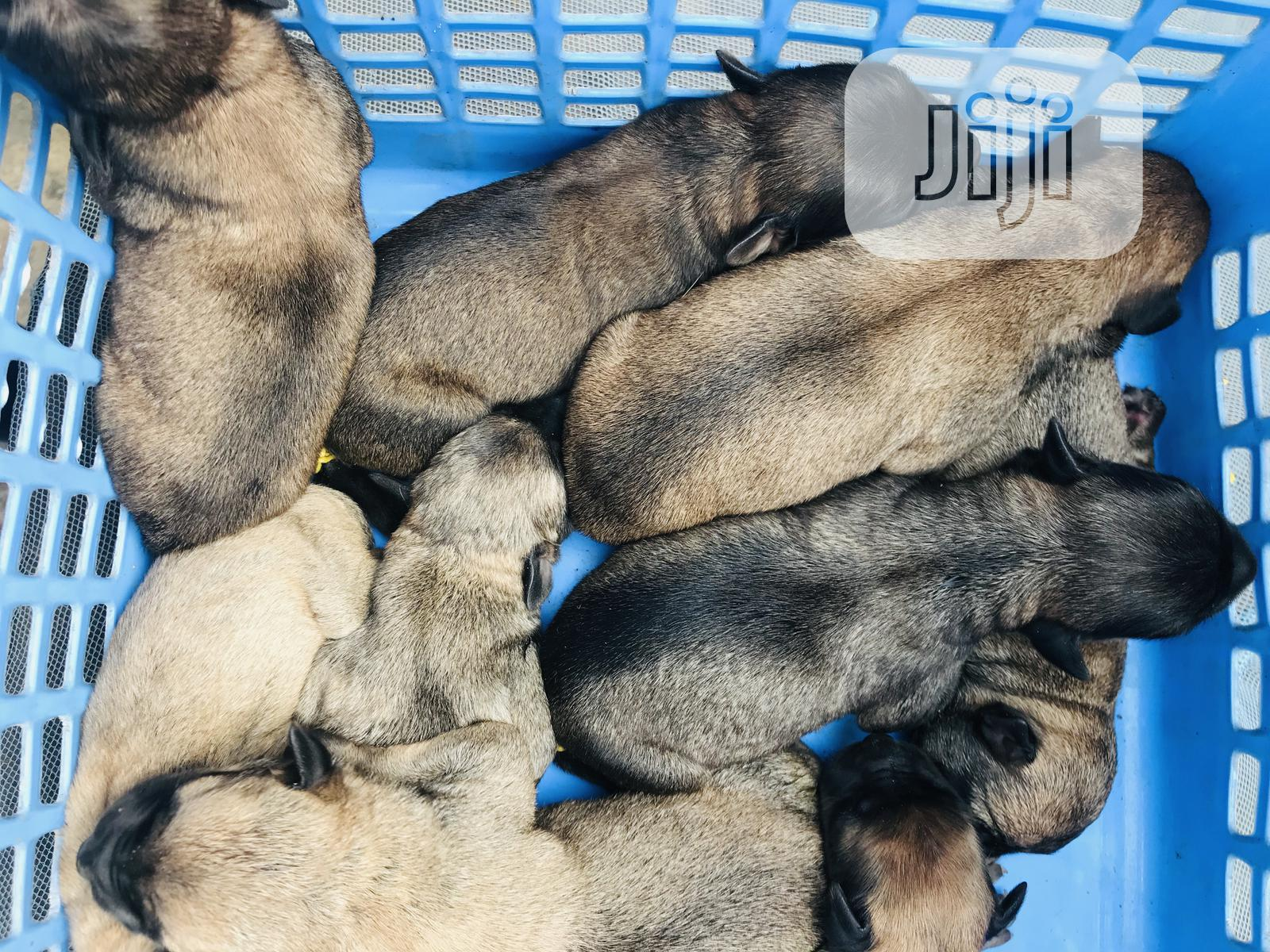 Archive: 0-1 Month Female Purebred Bullmastiff