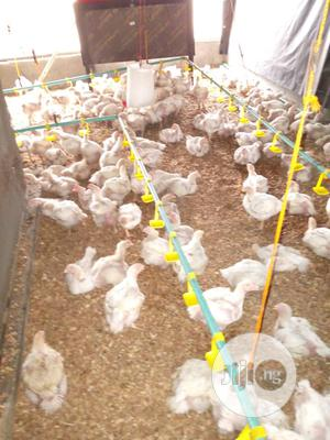 2000 Live Broilers For Sale | Livestock & Poultry for sale in Lagos State, Epe