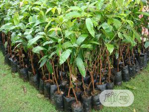 Mango Plant Seedlings | Feeds, Supplements & Seeds for sale in Oyo State, Lagelu