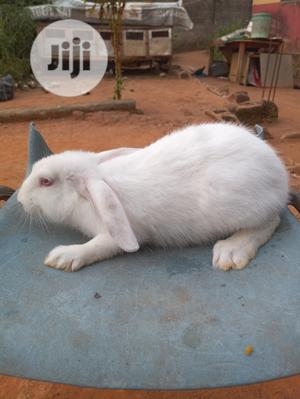 Hyla Rabbits   Livestock & Poultry for sale in Lagos State, Alimosho