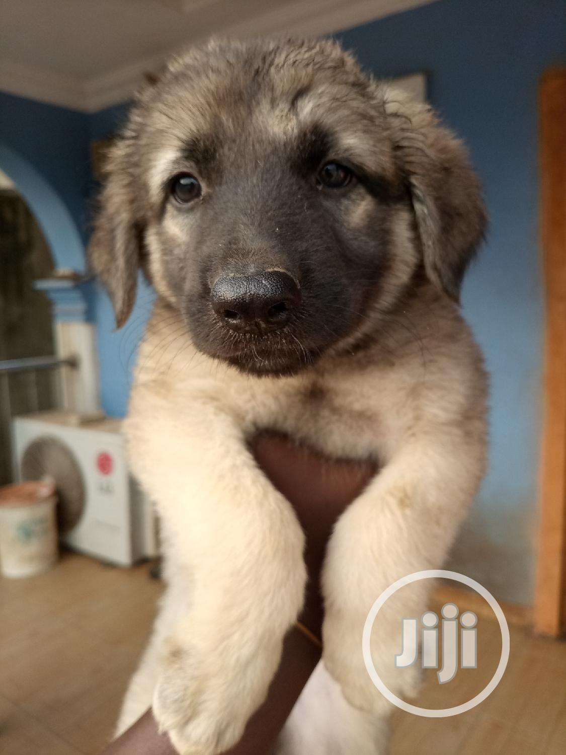 1-3 Month Female Purebred German Shepherd | Dogs & Puppies for sale in Osogbo, Osun State, Nigeria