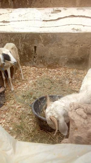 Balami Ram For Sale   Livestock & Poultry for sale in Lagos State, Alimosho