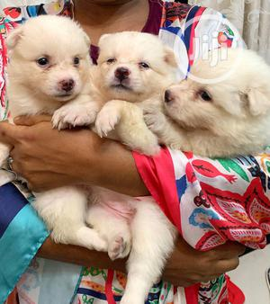 0-1 Month Female Purebred American Eskimo | Dogs & Puppies for sale in Lagos State, Surulere