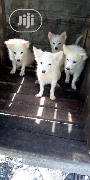 3-6 Month Male Purebred American Eskimo | Dogs & Puppies for sale in Lagos State, Lekki