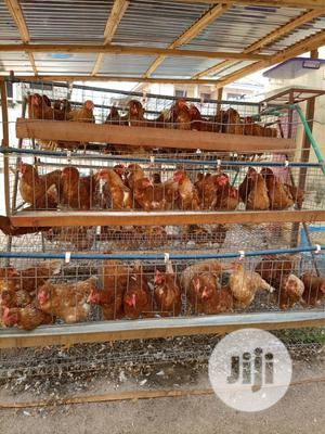 Point Of Lay For Sale   Livestock & Poultry for sale in Ogun State, Abeokuta South