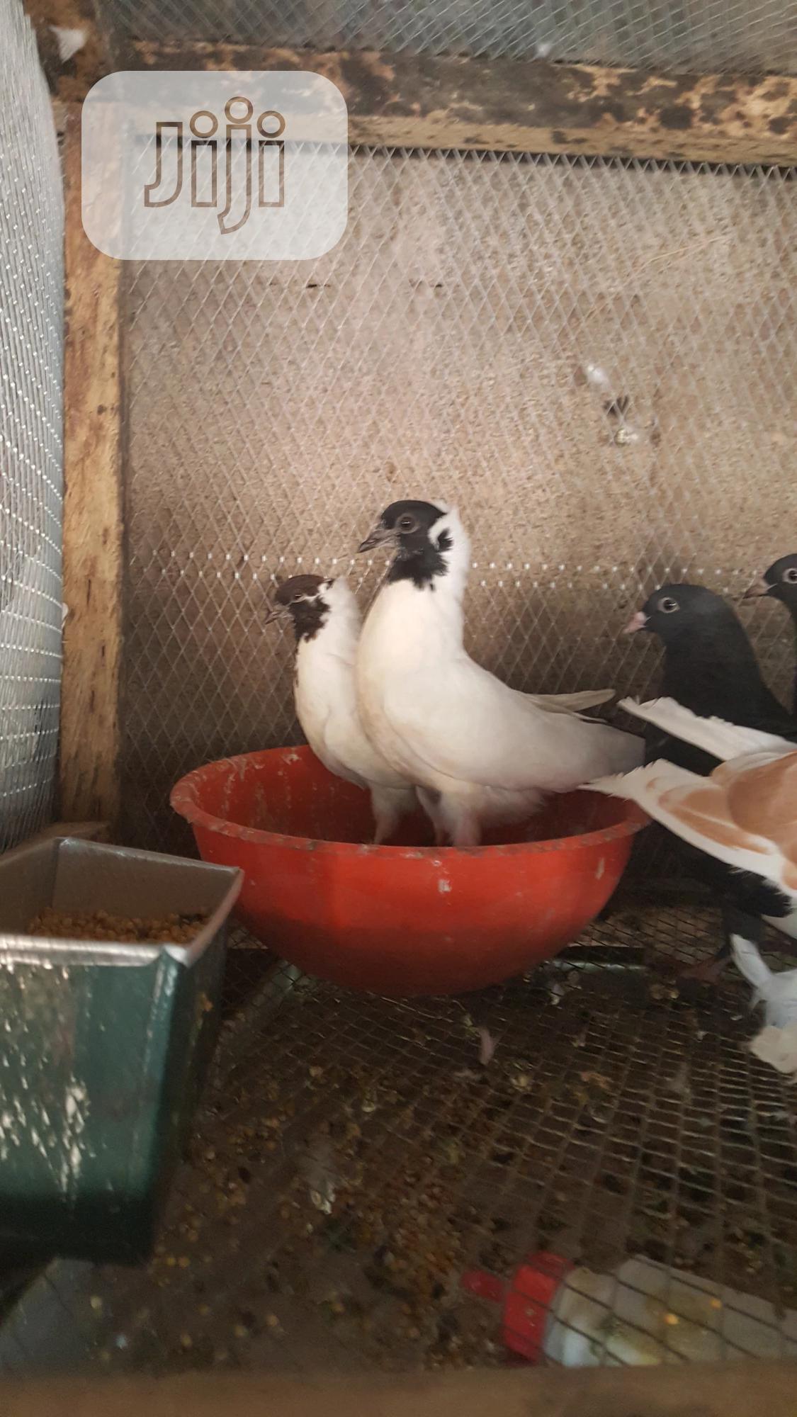 Archive: Nuns Pigeons
