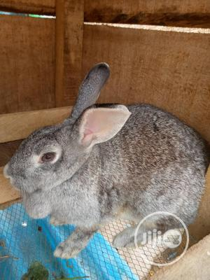 For Your Rabbits Of Different Breeds And Age   Livestock & Poultry for sale in Ogun State, Abeokuta North