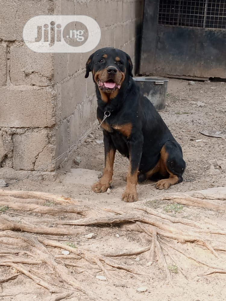 Archive: 1+ Year Male Purebred Rottweiler