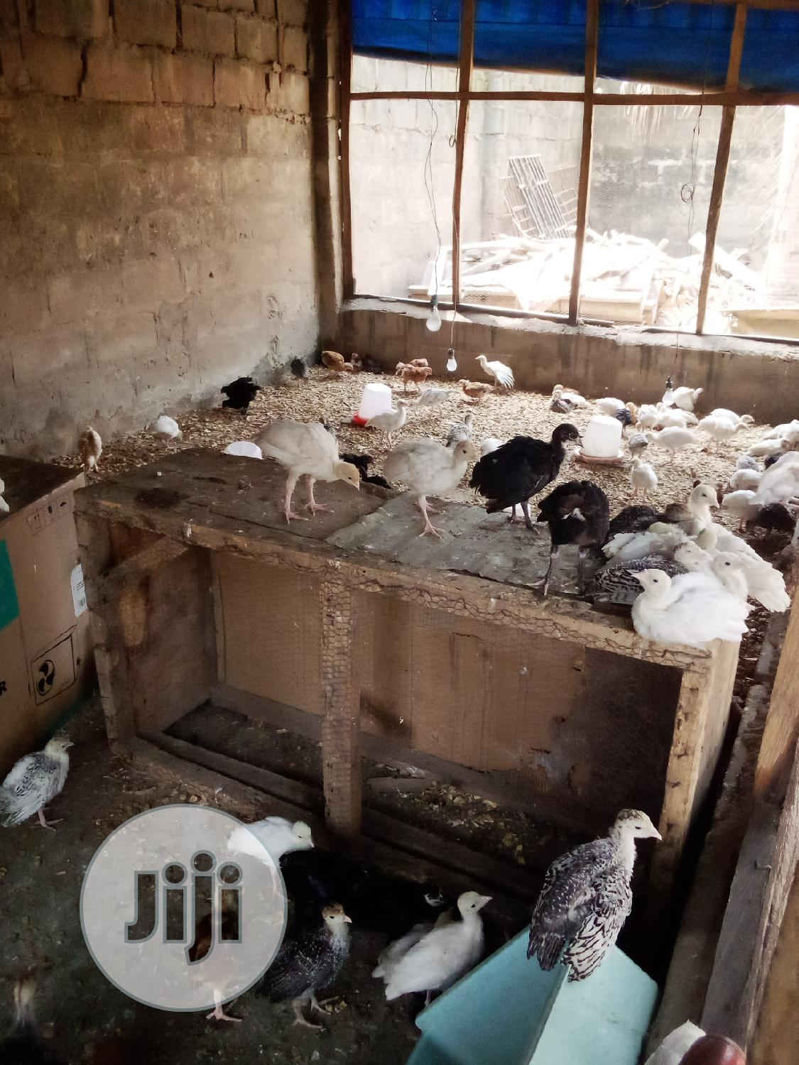 Mature And 6wks Local Turkey | Livestock & Poultry for sale in Ilorin West, Kwara State, Nigeria