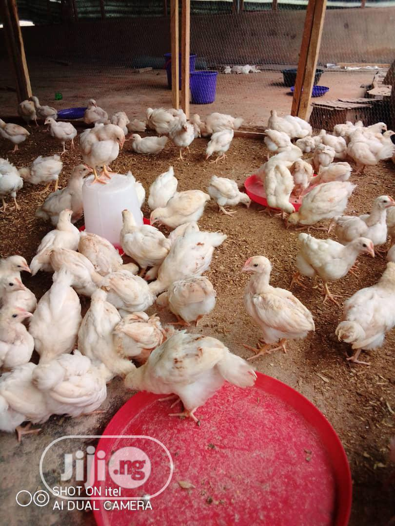 Archive: Broilers / Cockerels for Sale