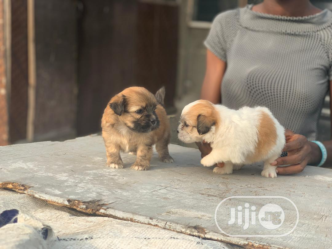 1-3 Month Male Purebred Lhasa Apso | Dogs & Puppies for sale in Ojo, Lagos State, Nigeria