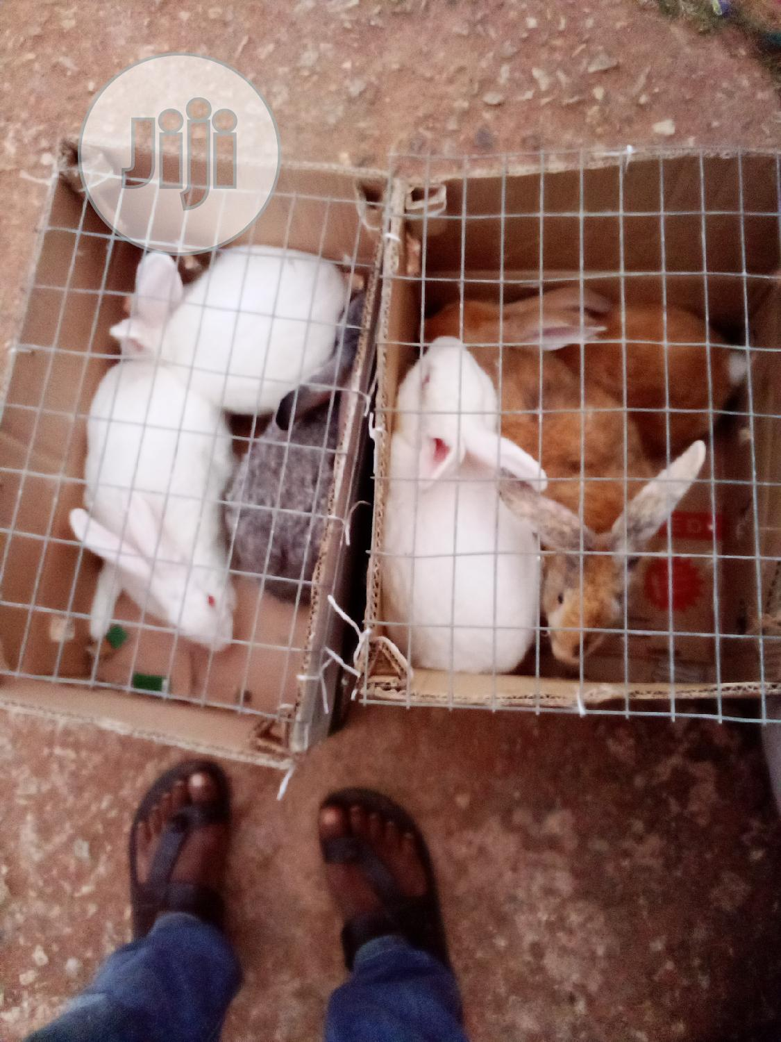 Eight Adult Rabbits of Different Breeds Available for Sale | Livestock & Poultry for sale in Benin City, Edo State, Nigeria
