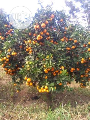 Sweet Orange Seedlings for Sale at Affordable Price | Feeds, Supplements & Seeds for sale in Oyo State, Ibadan