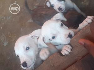 1-3 Month Female Purebred American Pit Bull Terrier | Dogs & Puppies for sale in Lagos State, Alimosho