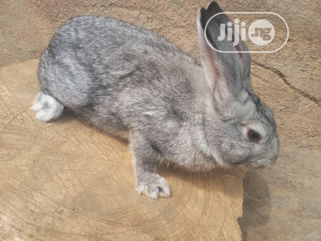 For Your Rabbits Of Different Breeds And Age | Livestock & Poultry for sale in Abeokuta North, Ogun State, Nigeria