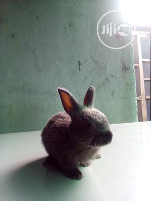 Male and Female Rabbit   Livestock & Poultry for sale in Lagos State, Surulere