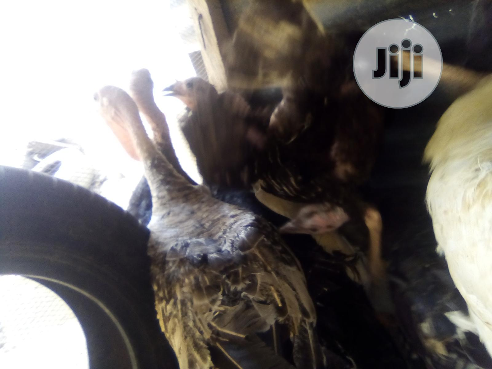 Archive: Adult Male And Female Turkeys For Sale