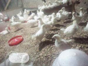 6wks CHI Cockerel Birds Available for Sale | Livestock & Poultry for sale in Oyo State, Oluyole