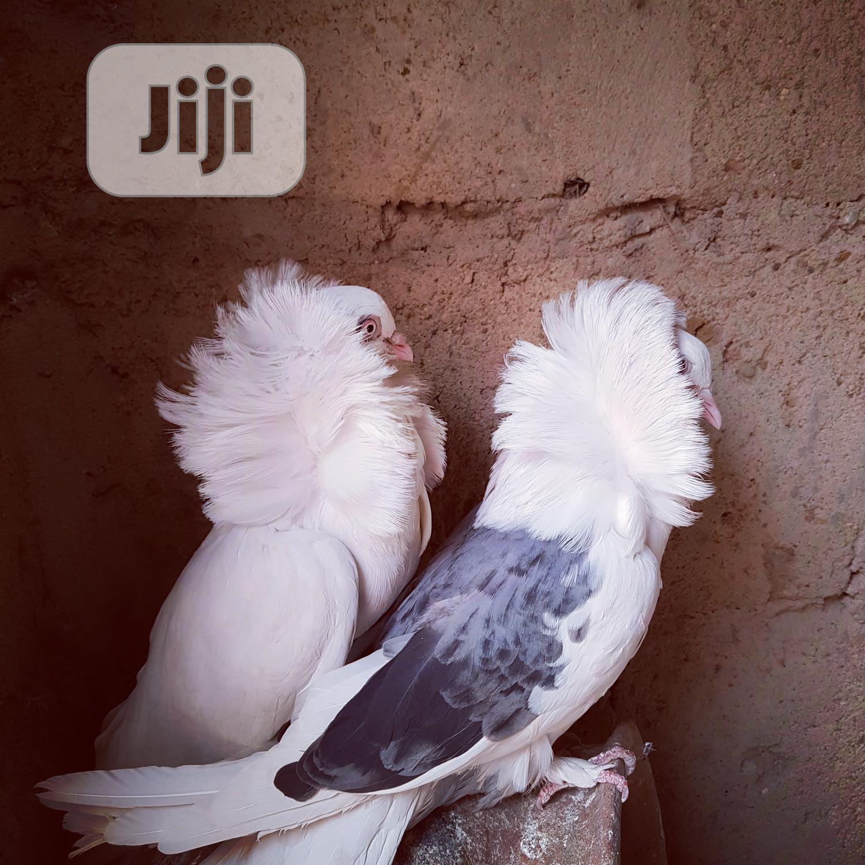 Archive: Jacobin Pigeon