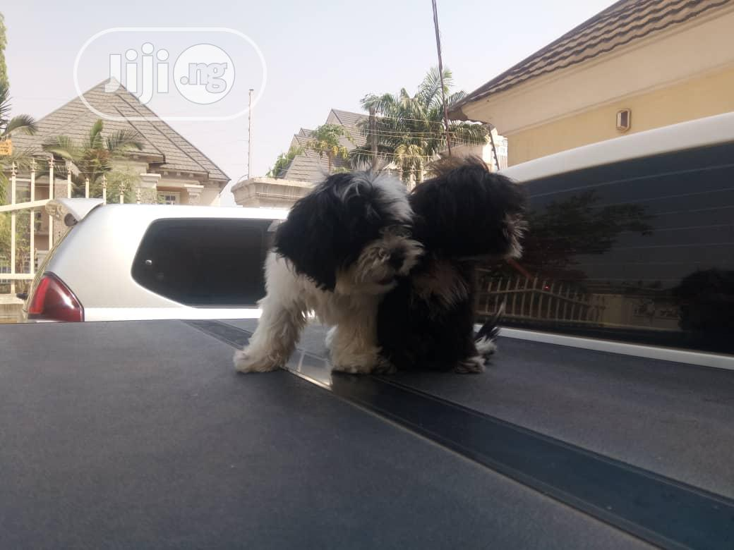 3-6 Month Male Purebred Lhasa Apso | Dogs & Puppies for sale in Alimosho, Lagos State, Nigeria