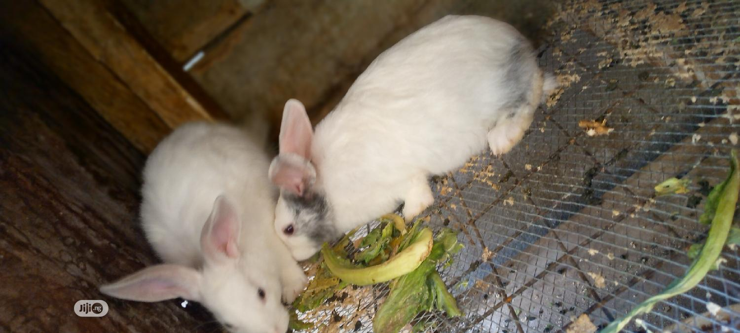 Archive: Foreign Breed Rabbit