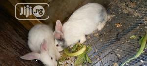 Foreign Breed Rabbit   Livestock & Poultry for sale in Kaduna State, Kaduna / Kaduna State