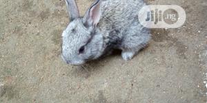 Rabbits - Exotic Breeds | Livestock & Poultry for sale in Rivers State, Eleme