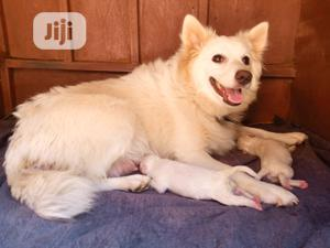 0-1 Month Female Purebred American Eskimo | Dogs & Puppies for sale in Abuja (FCT) State, Jikwoyi