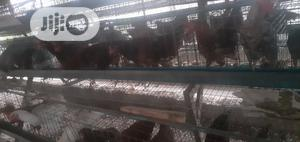 Layers Chicken | Livestock & Poultry for sale in Lagos State, Ikorodu