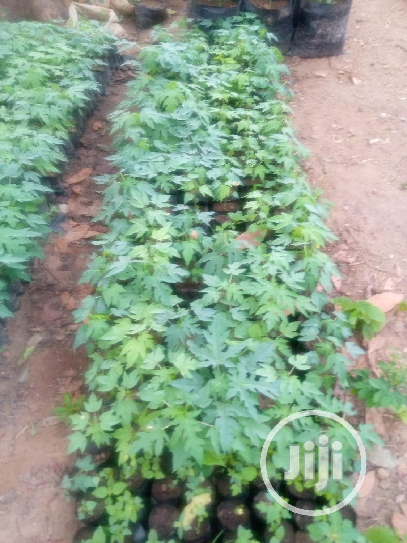 Dwarf Pawpaw Seedlings Fir Sale