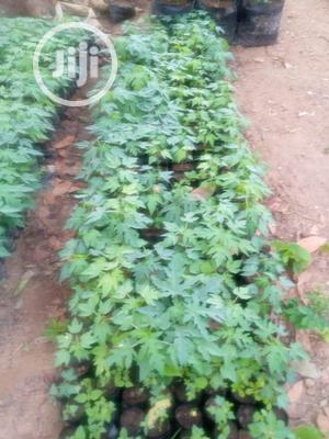 Dwarf Pawpaw Seedlings Fir Sale | Feeds, Supplements & Seeds for sale in Oyo State, Ibadan
