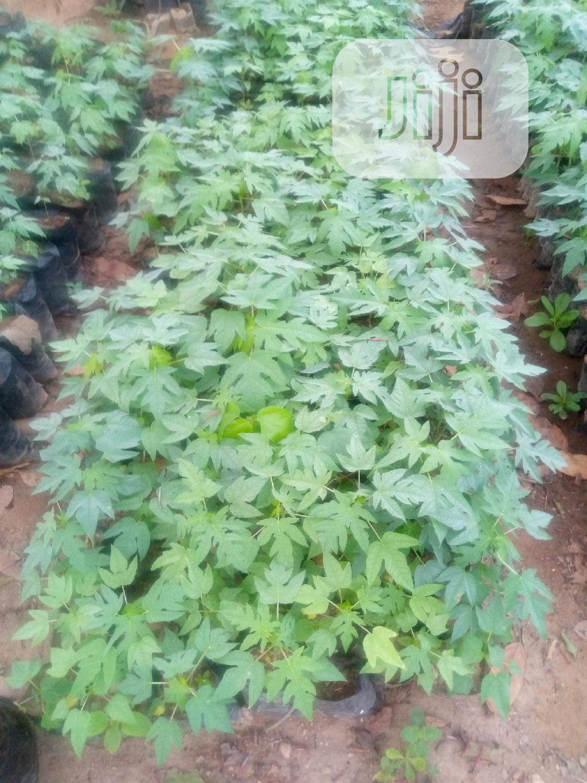 Dwarf Pawpaw Seedlings Fir Sale | Feeds, Supplements & Seeds for sale in Ibadan, Oyo State, Nigeria