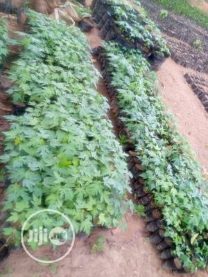 Dwarf Pawpaw Seedlings Are Sale at Affordable Price | Feeds, Supplements & Seeds for sale in Oyo State, Ibadan