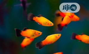 Platy Aquarium Fishes Available | Fish for sale in Lagos State, Surulere