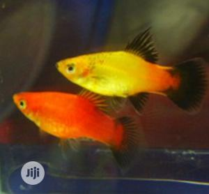 Beautiful Fishes for Your Aquariums and Bowls | Fish for sale in Lagos State, Surulere