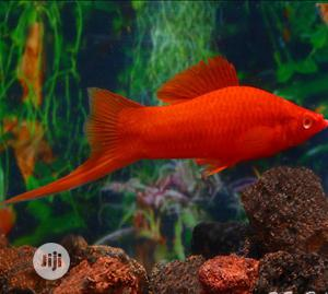 Swordtail Fish for Your Aquariums and Bowls | Fish for sale in Lagos State, Surulere