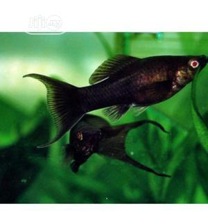 Black Molly Fish for Your Aquariums and Bowls | Fish for sale in Lagos State, Surulere