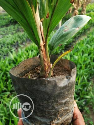 Oil Palm Seedlings | Feeds, Supplements & Seeds for sale in Oyo State, Ibadan