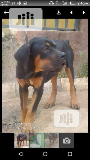 1+ Year Female Purebred Rottweiler | Dogs & Puppies for sale in Abuja (FCT) State, Central Business Dis