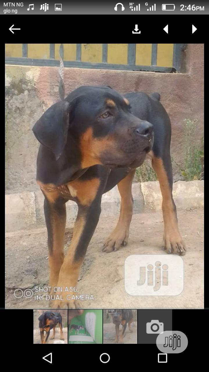 1+ Year Female Purebred Rottweiler