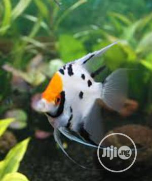 Angel Fish of All Kinds Available   Fish for sale in Lagos State, Surulere