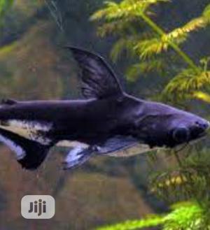 Pangasius Shark Fish | Fish for sale in Lagos State, Surulere