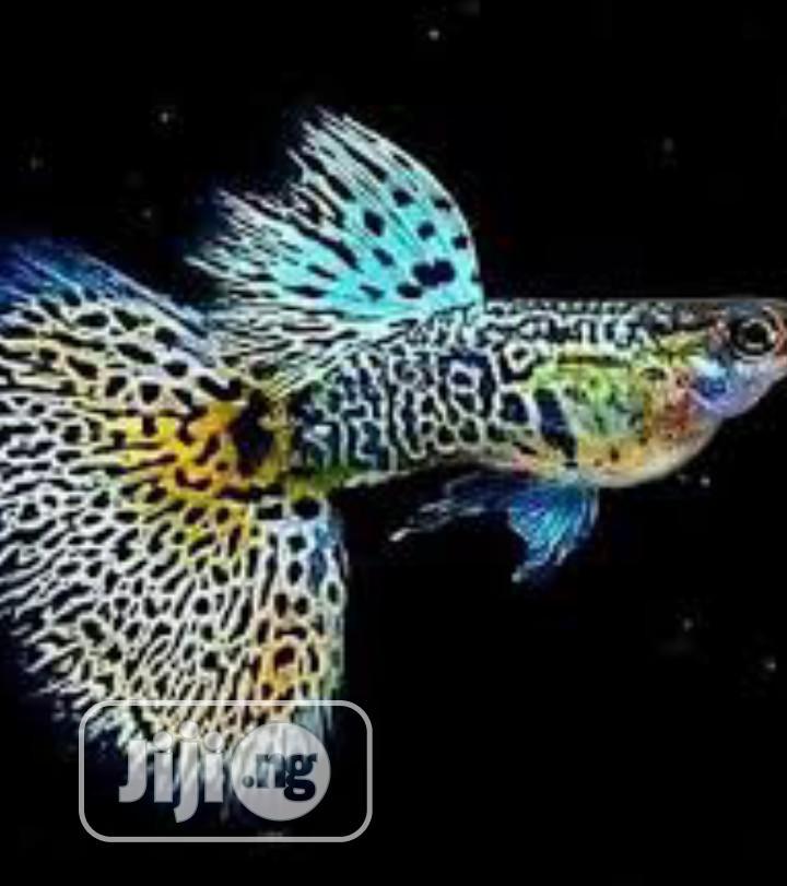 Guppy Aquarium Fish