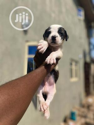1-3 Month Male Purebred American Pit Bull Terrier | Dogs & Puppies for sale in Kwara State, Ilorin South