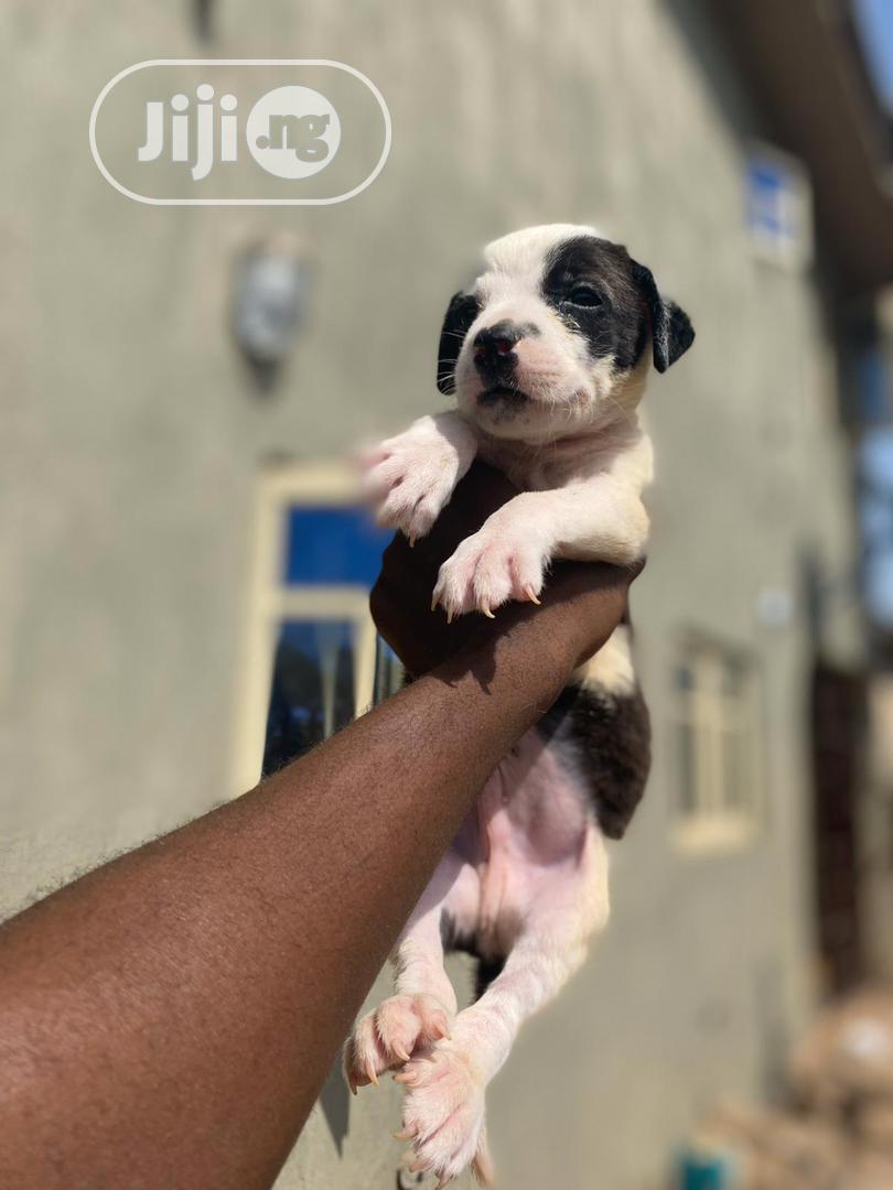 1-3 Month Male Purebred American Pit Bull Terrier   Dogs & Puppies for sale in Ilorin South, Kwara State, Nigeria
